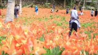 Taman Bunga Amaryllis Puspa Patuk