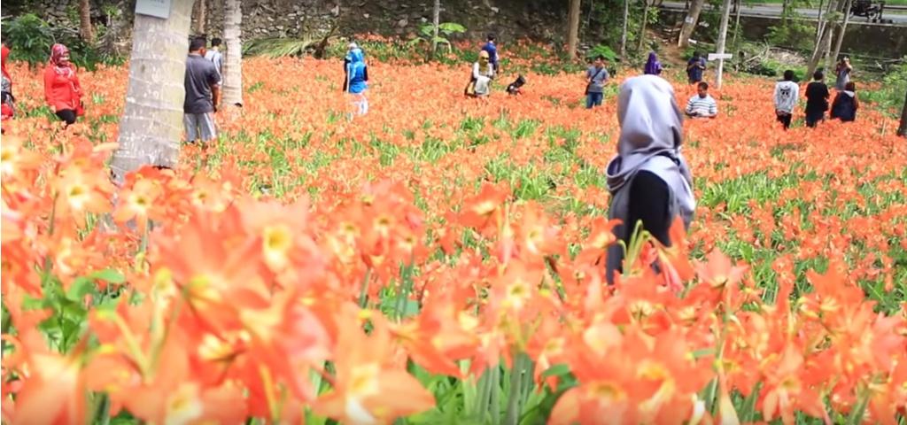 Taman Bunga Amaryllis Puspa Patuk Yogyakarta Sewa Mobil Jogja